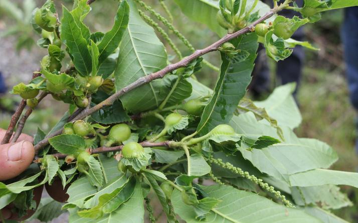 Kestane katili gal arısı Kastamonu'da da görüldü