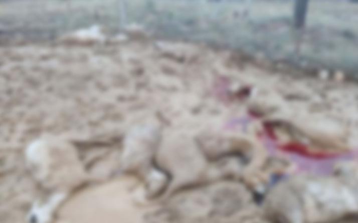 Ankara'da sele kapılan 64 koyun telef oldu
