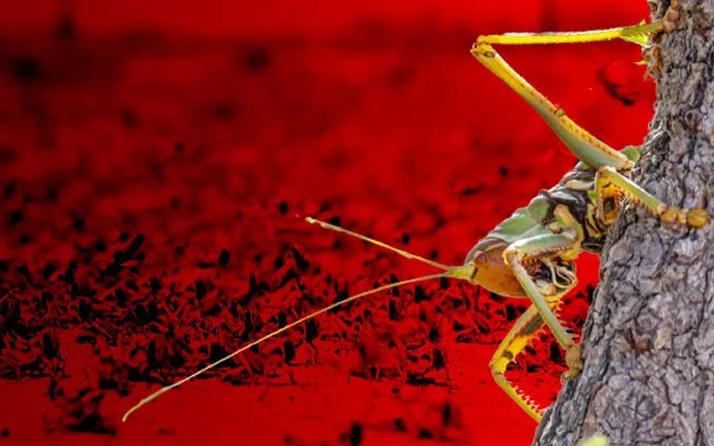 Durum çok ciddi! AFAD kırmızı alarm verdi: Türkiye'de böcek istilası yaşanabilir