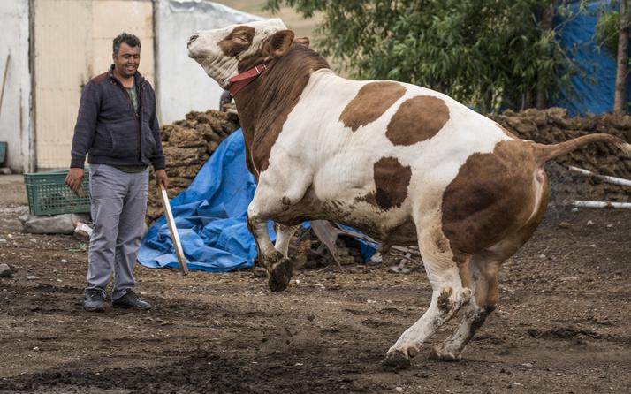 Kars'ta 1 ton 100 kilogramlık 'Şampiyon' adlı tosun 34 bin liradan satışa sunuldu