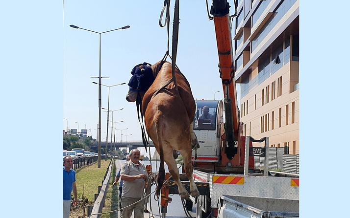 İstanbul'da kurbanlık boğa kamyonetten atladı! D-100'de trafiği birbirine kattı