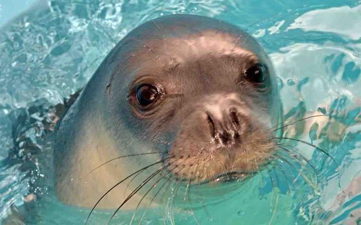 Hayvanseverler ayakta: Ünlü fok 'Kostis' zıpkınla öldürüldü