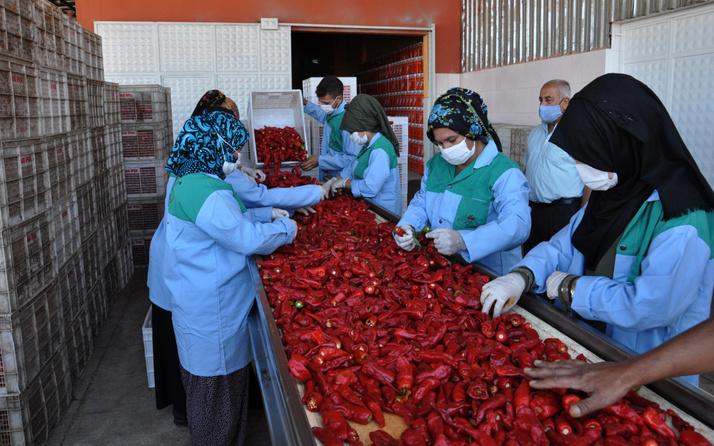 Gaziantep'te kırmızı altından günde 100 TL kazanıyorlar: Bu işten 7 bin kişi ekmek yiyor