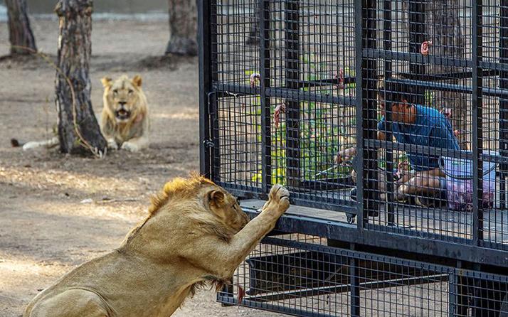 Antalya'da aslan safarisi olay oldu telli kamyonetle aslan safarisine tepki