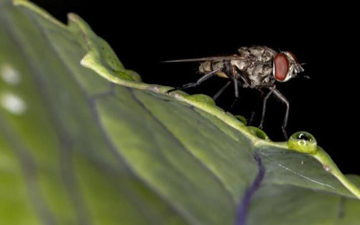 İstanbul'da baldırsokan sineği paniği! Uyku hastalığı yapıyor!