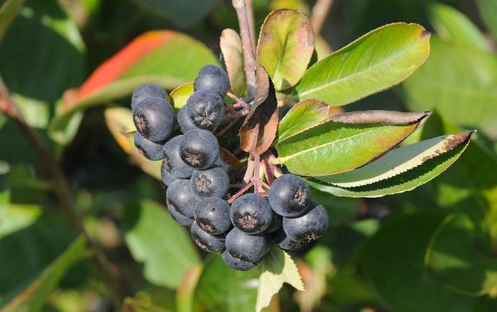 Görenler üzüm sanıyor ama kanserle savaşan bu meyvenin adını daha önce duymadınız