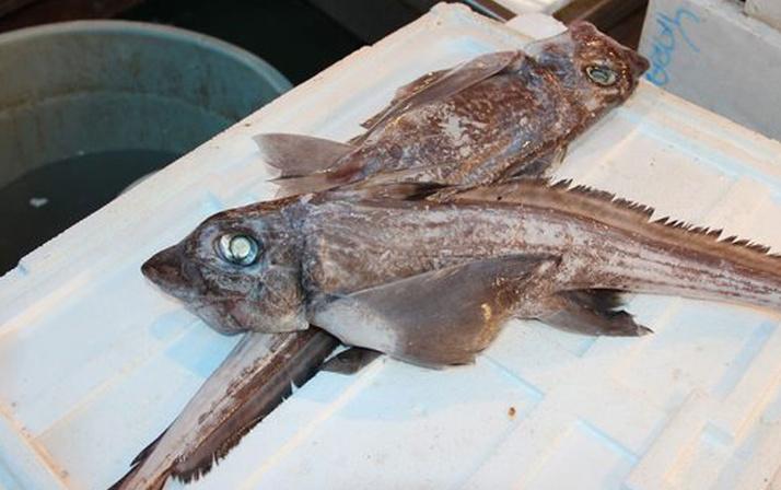'Şeytan Balığı' Mersin'de yakalandı!