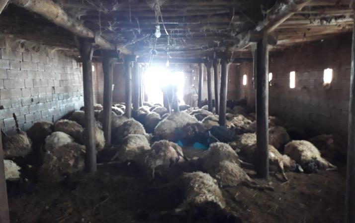 Hakkari'de kurtlar 110 koyunu telef etti