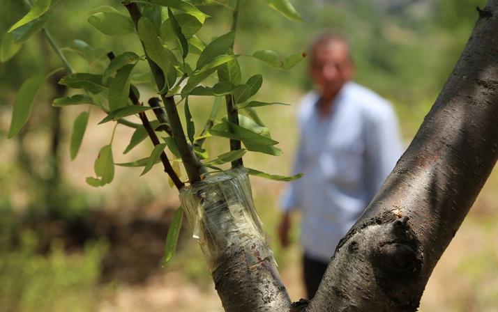 Hiç sulamadan tek ağaçta 4 çeşit meyve yetiştirdi