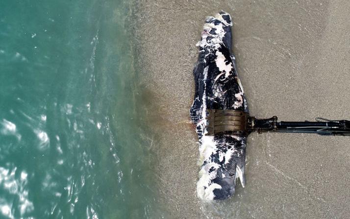 Ölüdeniz'de üç metre uzunluğundaki balina karaya vurdu! Gören telefona sarıldı