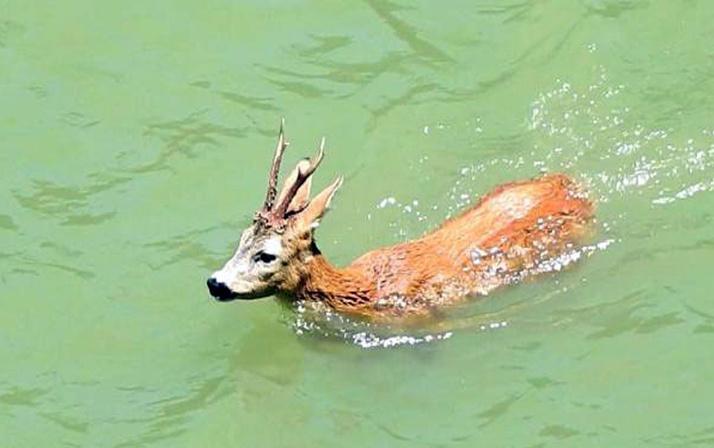 Nesli tükeniyor! Barajda yüzen karaca böyle görüntülendi!