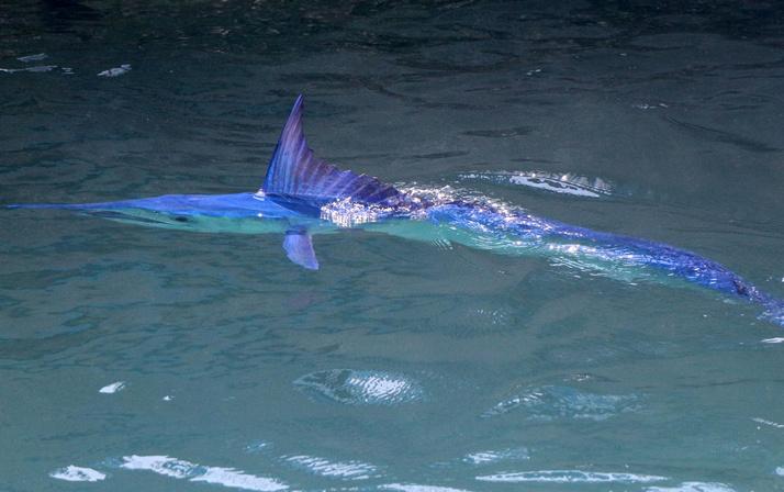 Mavi yelken balığı Antalya Kemer'de görüntülendi! Dünyanın en hızlısı