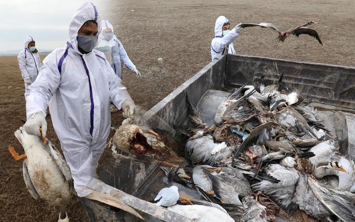 Kuş gribi paniği! İnsanlarda semptom görüldü Hindistan'da kümes hayvanları itlaf ediliyor