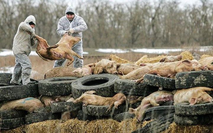 Yine Çin yine yeni bir salgın! Korona bitmeden 'domuz vebası' salgını başladı