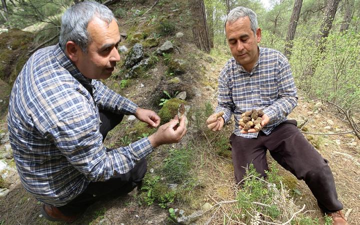 Kilosu 2 bin TL! Antalya'da dağdan toplayıp satıyorlar paraya para demiyorlar
