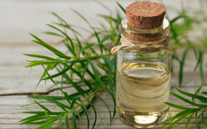 Çay ağacı yağı ne işe yarar nasıl kullanılır?