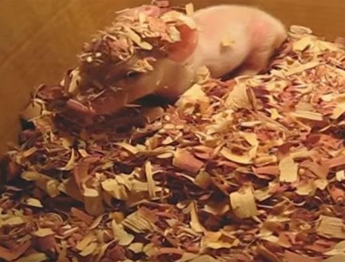 Bebek domuzun uyanma anı