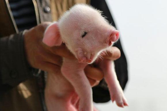 Danimarka'da 'zorunlu domuz yemeği' kararı