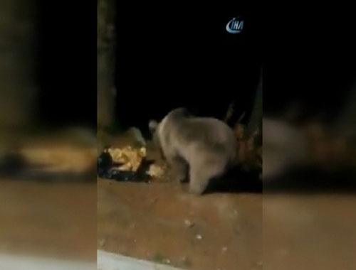 Uludağ ve Kazdağları'nda ayılar böyle görüntülendi