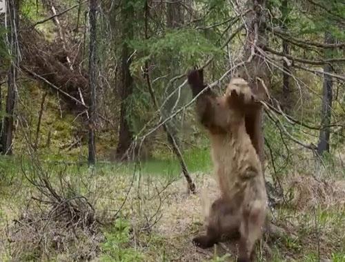 Kaşınan ayılara BBC'den güldüren klip