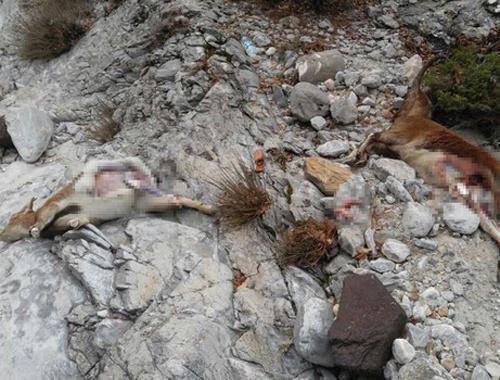 Dağ keçisi avlayan 3 kişi yakalandı