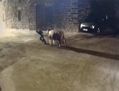 Siverek'te ahırdan inek çaldılar