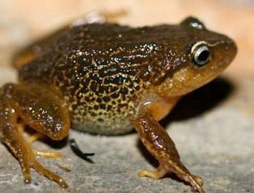 Kolombiya'da sarı kaşlı kurbağa türü keşfedildi