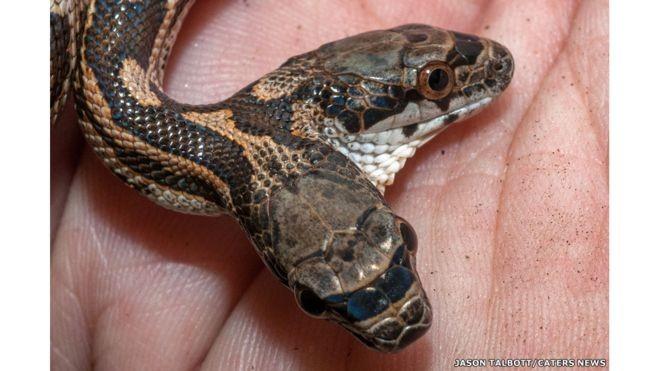 Çift başlı yılan mı olur bu görüntü şoke etti