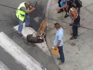 Brezilya'da pitbull dehşet saçtı! (+18)