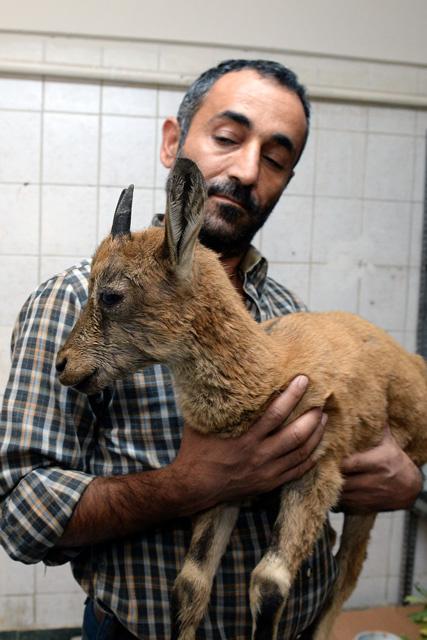 Tunceli'de hasta yaban keçisine şefkat eli