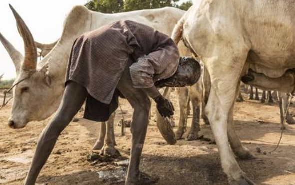 Sığır idrarıyla saçlarını yıkıyorlar! Bu gelenek sizi çok şaşırtacak