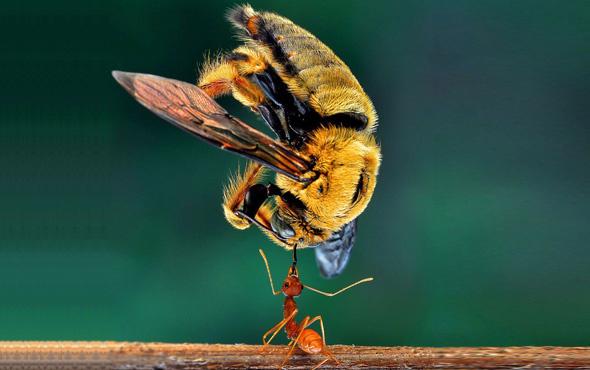 Hayrete düşüren kareler karıncaları daha önce hiç böyle görmediniz!