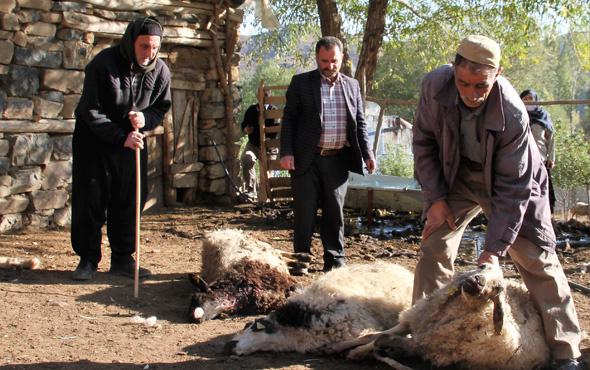 Muş'ta kurtlar 10 koyunu telef etti, 25 koyunu yaraladı