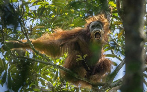 Yeni bir maymun türü keşfedildi!