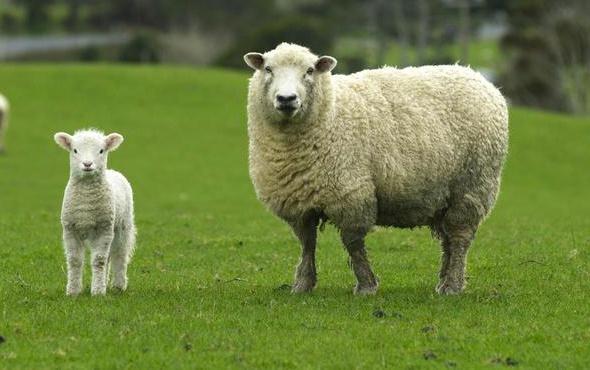 Koyunlar insan yüzlerini fotoğrafa bakarak ayırt edebiliyor