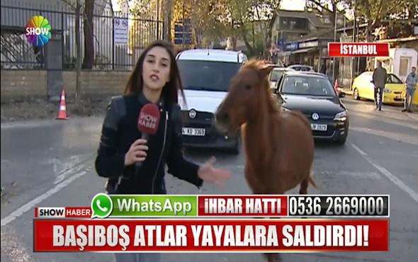 Başıboş atlar Haber muhabirine saldırdı!