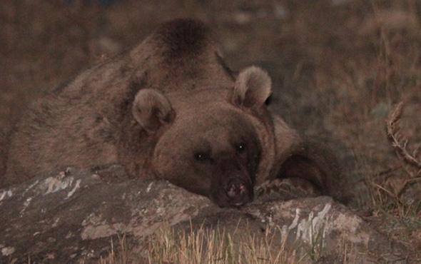 Çöplük boz ayıların kış uykusu düzenini bozdu