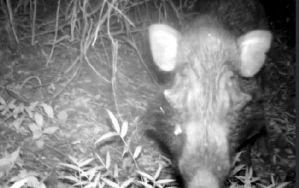 Dünyanın en çirkin domuzu görüntülendi
