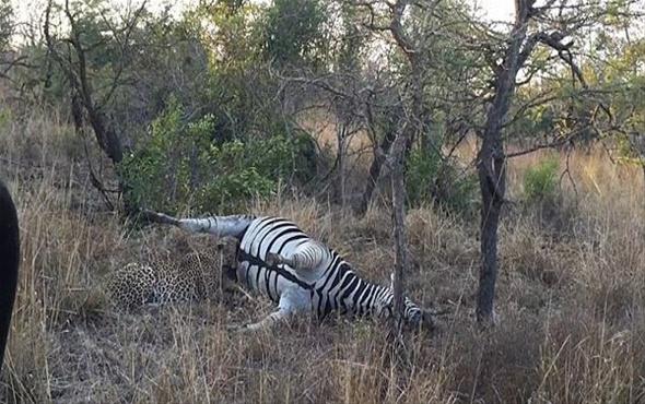 Zebrayı atlayıp avladı avlamasına ama sonra öyle bir şey oldu ki