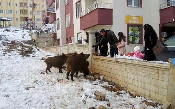 Tunceli'de mahalleye inen yaban domuzlarını besliyorlar