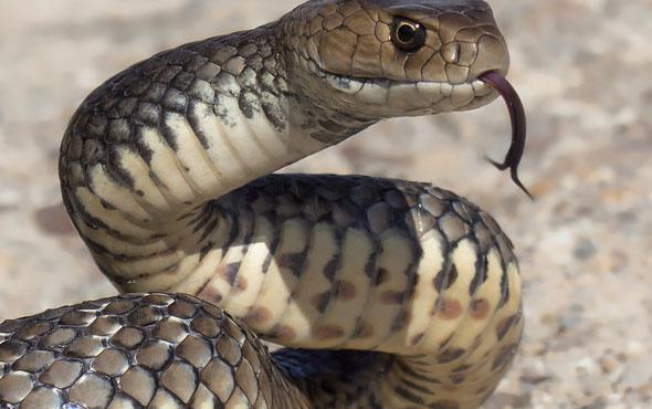 Kanseri yenmek için yılan eti yiyor