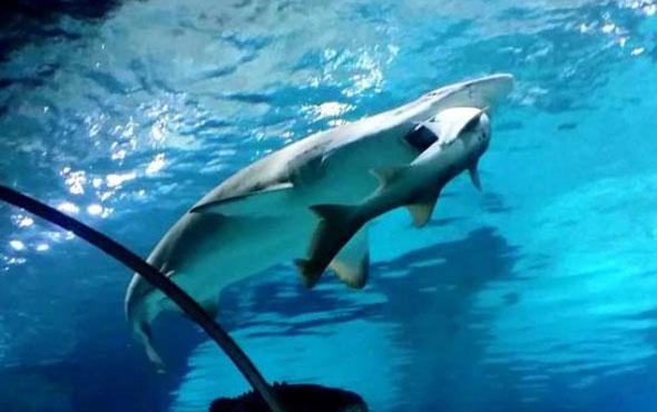 Kendisini taciz eden köpekbalığını mideye indirdi