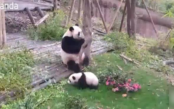 Pandayı çıldırtan ağaç dalı