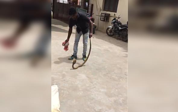 Dev kobra yılanını elleriyle yakaladı