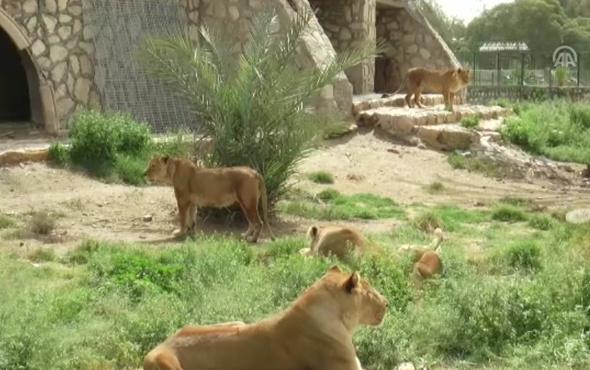 Irak'ın devrik lideri Saddam'ın aslanları