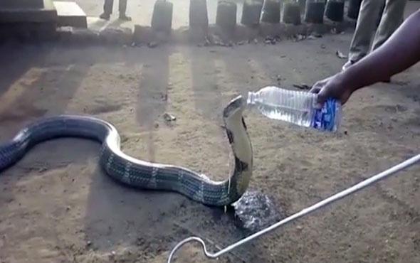 Dev kobraya pet şişeden su içiren cesur insan