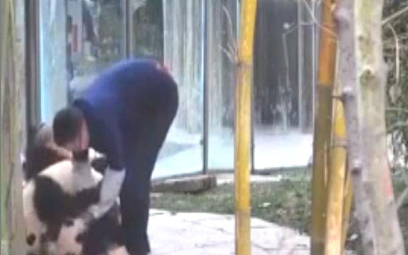 Panda bakıcısının zor anları