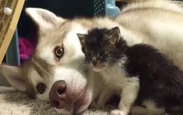 Hasta kediye Husky sahip çıktı