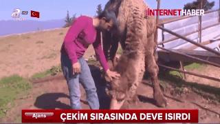 Çekim sırasında deve sahibini ısırdı