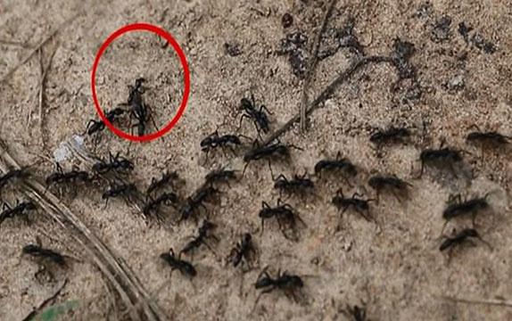 Yaralı karıncayı kurtarmaya gelen 'Karınca kurtarma timi'